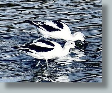 Avocet, winter plumage