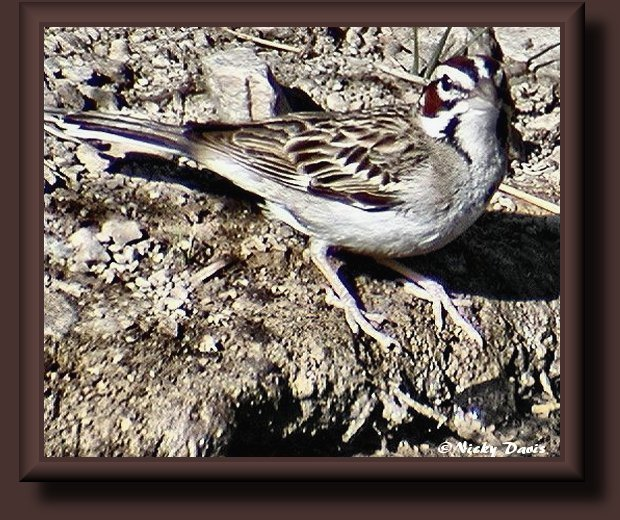 Lark Sparrow at Butterfield Canyon 6-28-02 ©NJDavis, Emberizidae Chondestes grammacus