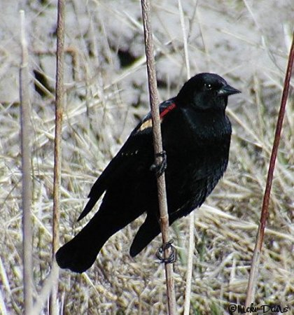 Red-winged Blackbird at Provo Airport Dike © NJDavis