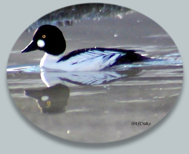 Male Common Goldeneye in breeding plumage at Mountain Springs,February 1, 2004,  ©NJDavis