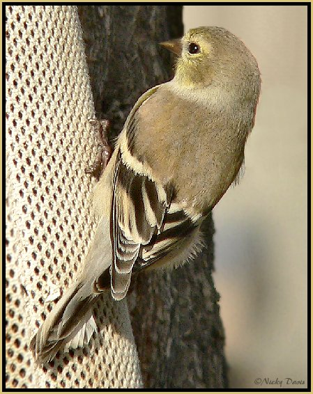 Winter plumage of Female American Goldfinch