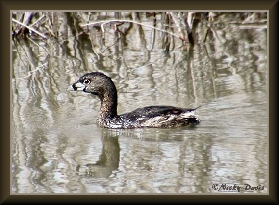 Pied-billed Grebe, adult breeding plumage