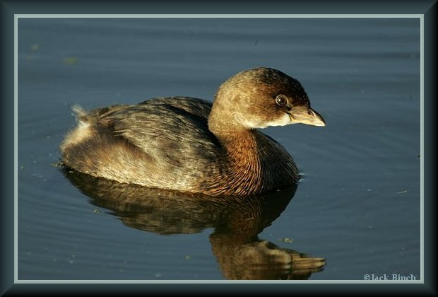 Pied-billed Grebe, non-breeding