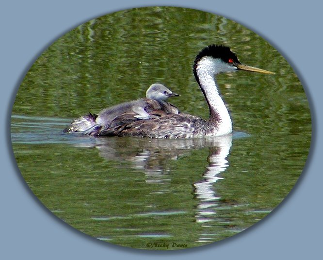 Western Grebe Chick clinging to parent's back