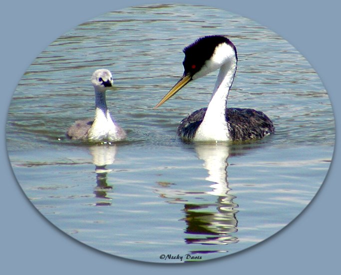Western Grebe admiring chick, July 25, 2004, Bear River  MBR, Box Elder County, Utah, ©Nicky Davis