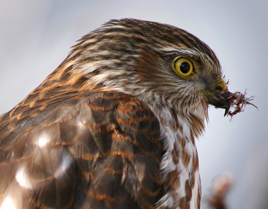 Hawk with piece of house sparrow still stuck to its beak