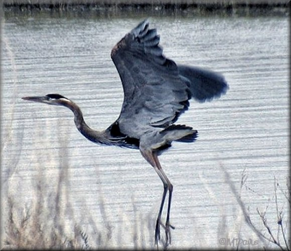 Great Blue Heron Flight