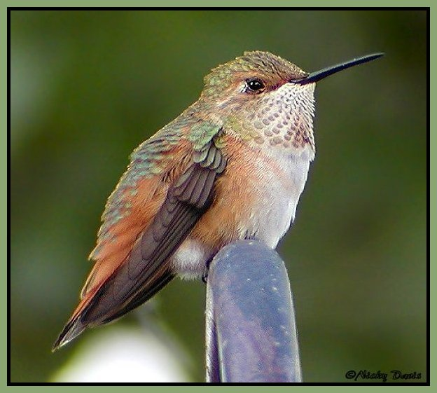 Rufous Hummingbird, female at Sandy feeder  ©NJDavis, Trochilidae Selasphorus rufus