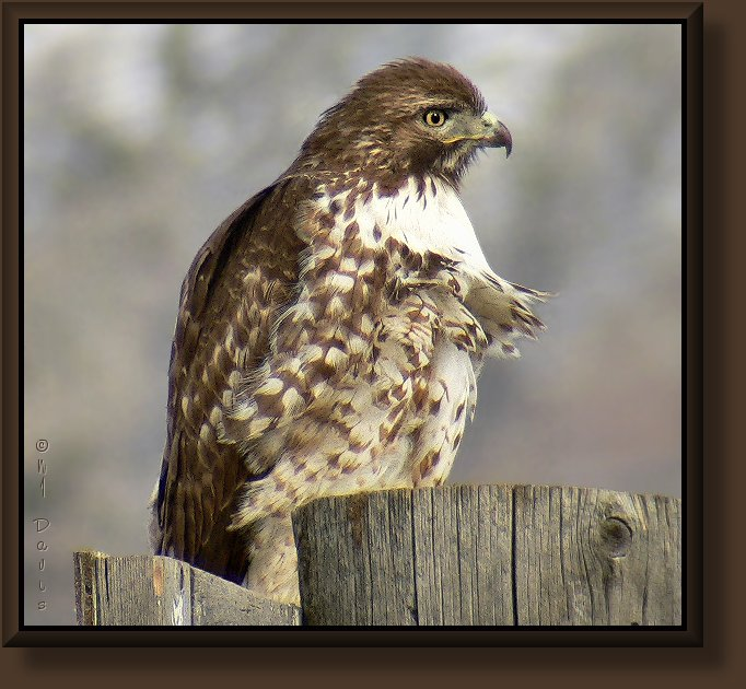 Juvenile Red-tailed Hawk- light morph
