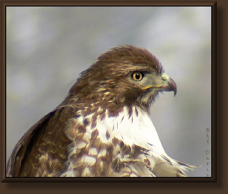 Red-tailed Hawk, light juvenile