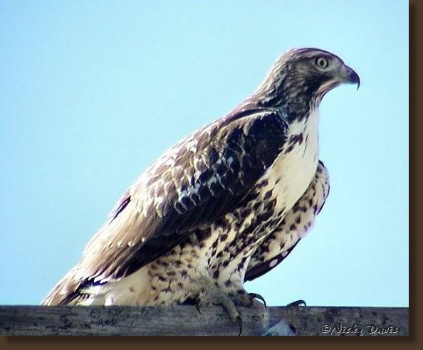 Juvenile Red-tailed Hawk-light morph