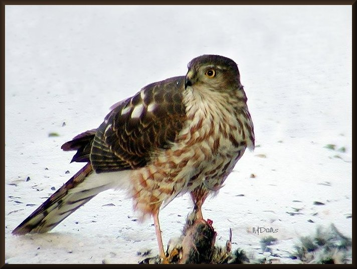 Sharp-shinned Hawk with Junco