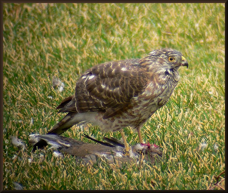 Sharp-shinned Hawk with  Dove