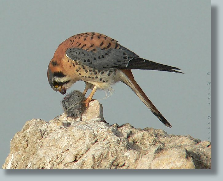Male American Kestrel eating mouse