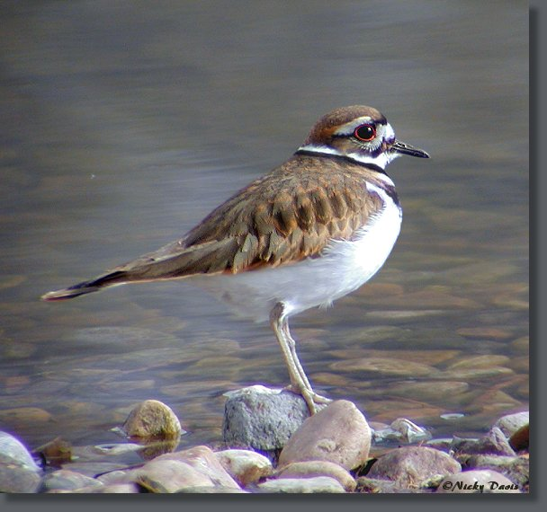 Killdeer at Mountain Springs, January 16, 2005