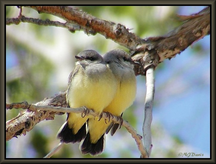 Western Kingbird Chicks on route to Ouray