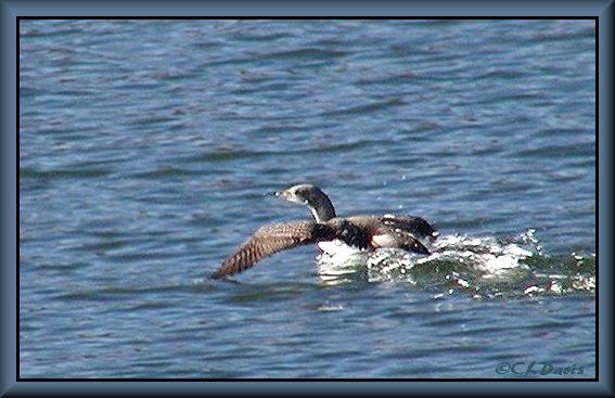 Juvenile Pacific Loon