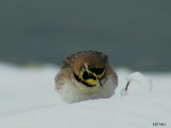 Horned Lark foraging for seed in deep snow