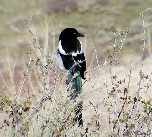 Magpie photo at East Canyon, ©NJDavis,  Corvidae Pica hudsonia