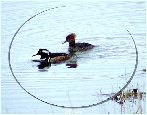 Male and female Hooded Merganser