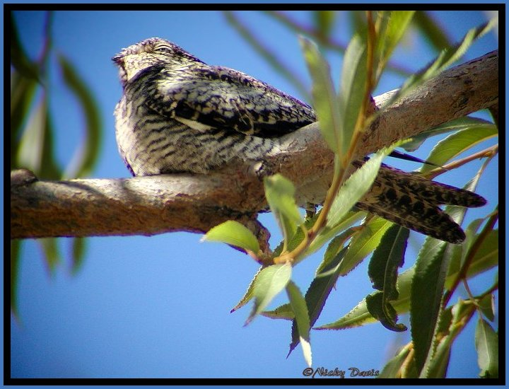 Common Nighthawk photo at River Lane 9-17-04  ©NJdavis, Caprimulgidae Chordeiles minor