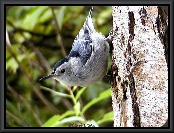 Female White-breasted Nuthatch