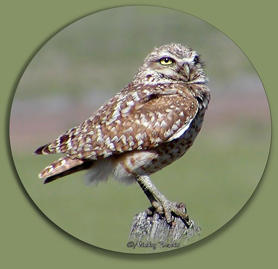Burrowing Owl,  Box Elder County, Utah, 5-30-04, ©Nicky Davis, Strigidae athene cunicularia