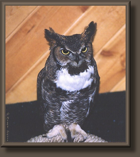 Great Horned Owl in rehabilitation at Ogden Nature
