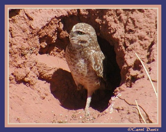 Burrowing Owl in Burrow