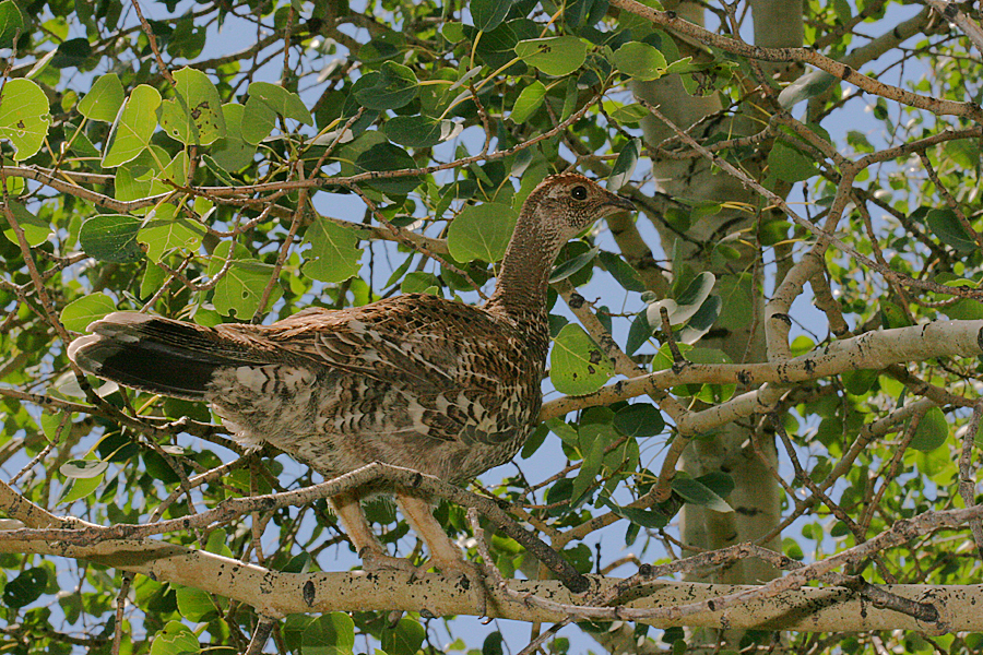 young pheasant in a tree