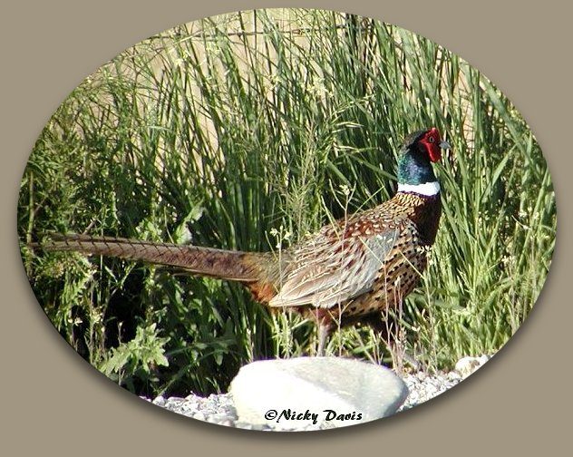 Male Ring-necked pheasant