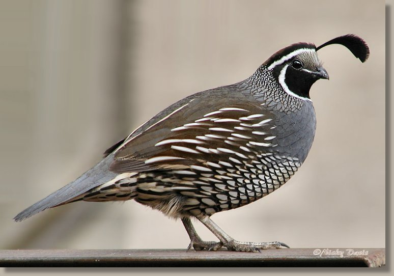 Photo of Male California Quail
