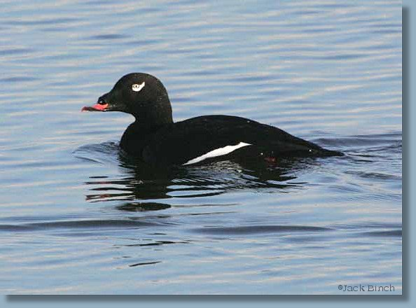 Male Adult White-winged Scoter