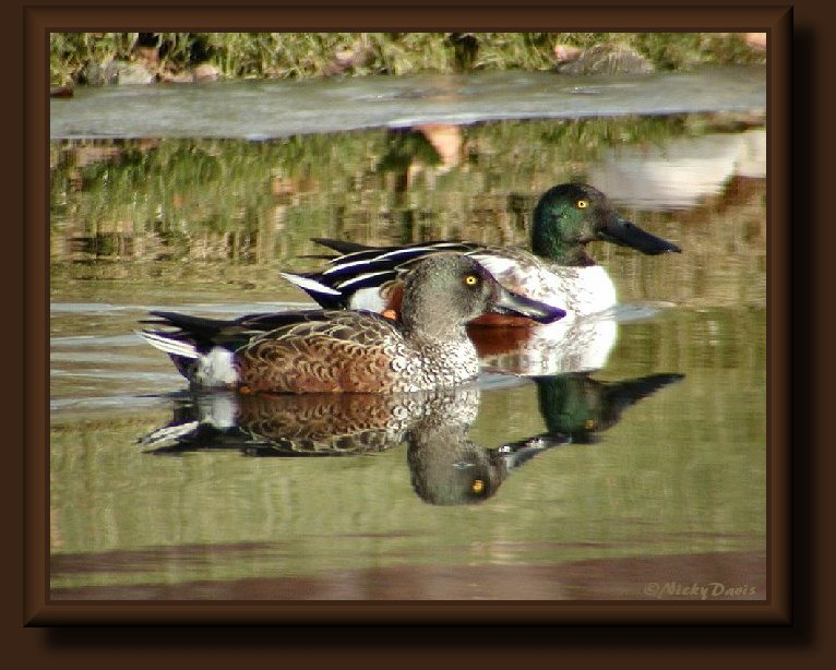 Northern Shoveler, male and female