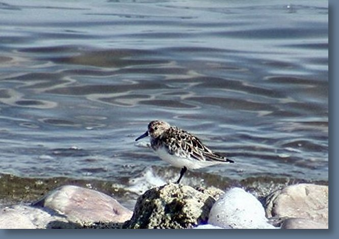 Female Sanderling