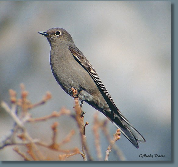Townsend's Solitaire at Rock Canyon