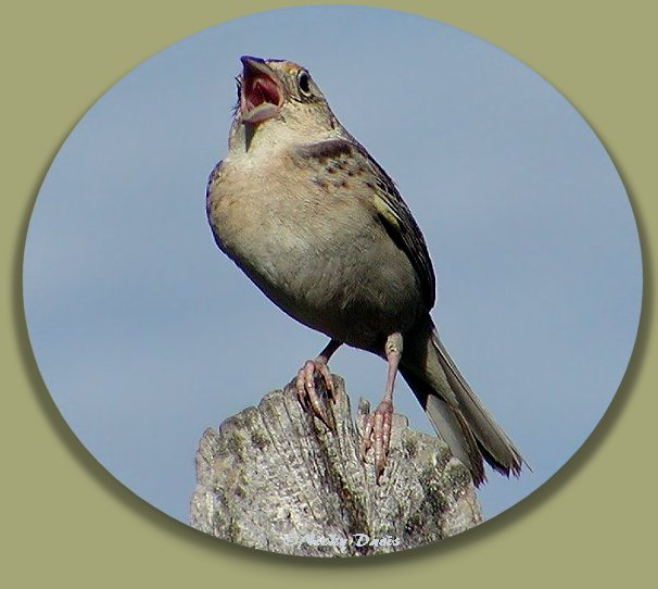 Grasshopper Sparrow singing