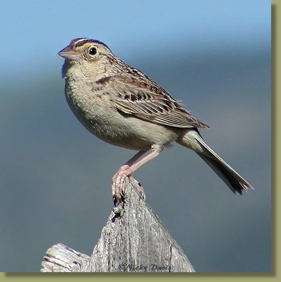 Grasshopper Sparrow, side view