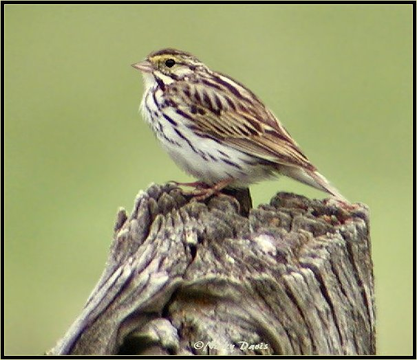 Savannah Sparrow, Emberizidae Passerculus sandwichensis, Heber Fields, Wasatch County, Utah, June 29, 2004, ©NJDavis