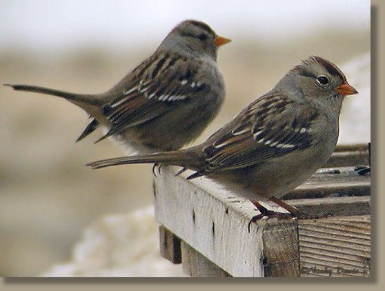 1st winter White-crowned Sparrow