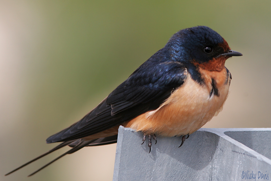 barn Swallow_scipio