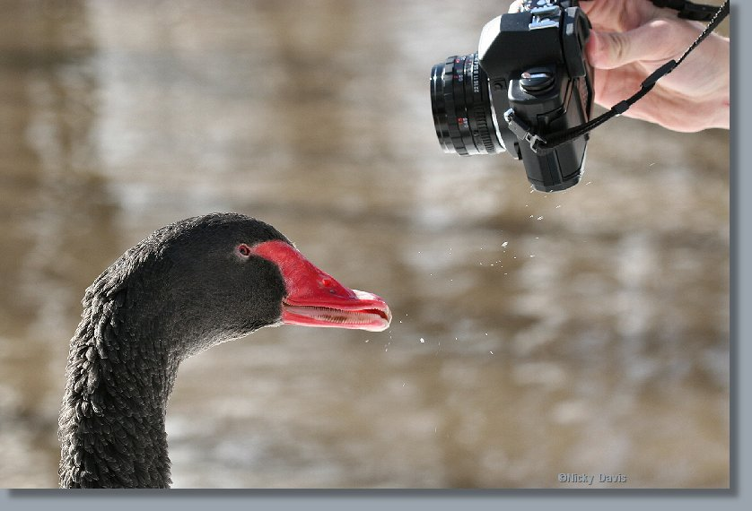 Black Swan having camera for lunch