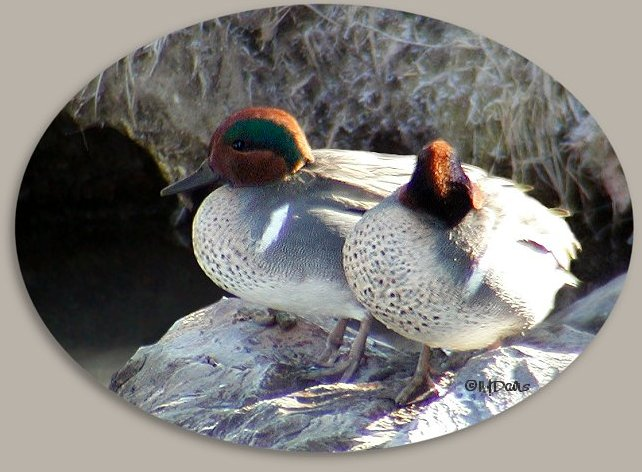 Green-winged Teals resting on warm rock at Mountain Springs 02-01-04  ©NJDavis, Anatidae Anas crecca