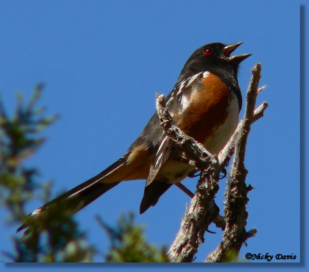 Photo of Spotted Towhee