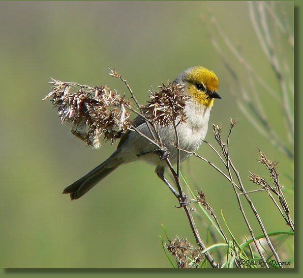 Photo of Verdin