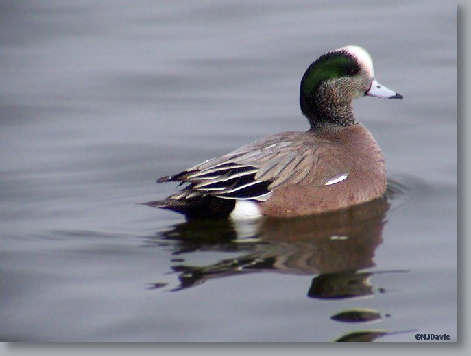American Wigeon_side/back view  ©NJDavis