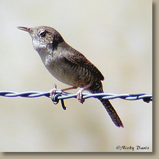 House Wren photo at Butterfield Canyon 05-26-03 © NJDavis, Troglodytidae Troglodytes aedon