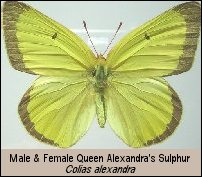 Male and Female Queen Alexandra's Sulphur