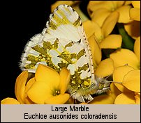 click for photos of Large Marble - Euchloe ausonides coloradensis