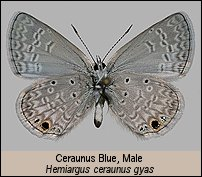 click for phoots of adult Hemiargus ceraunus gyas